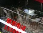 肉兔种兔出售杂交野兔批发价格