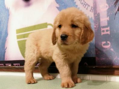上门700一只 金毛幼犬 包健康 包纯种 有多条狗狗挑选