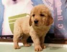 重庆本地出售金毛幼犬上门700一只 包健康 包纯种 当面挑选