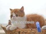 周口哪里出售加菲猫周口纯种加菲猫一般要多少钱一只