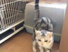 怀孕一个多月虎斑母猫 出售