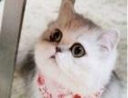 济南家养美短英短豹猫暹罗纯种猫繁育中心
