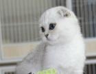 活体猫咪苏格兰折耳猫蓝虎斑渐层英短折耳幼猫幼崽活体