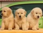 纯种大头金毛幼犬 疫苗齐全 血统纯正包健康送货上门