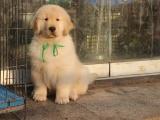 狗场里的金毛犬能不能养活 价格贵不贵