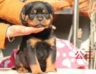 沧州冠军级种犬后代罗威纳 包活 带健康证 签合同