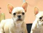 斗牛犬 正规繁殖基地 包纯包健康 养死包换 签协议