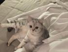 银渐层猫宝宝 南京 家养