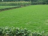 四川精品优质台湾二号草坪,量大从优,欲购从速