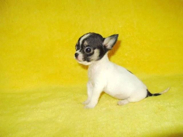 贵阳哪里能买到家养纯种吉娃娃犬 贵阳吉娃娃价格多少钱