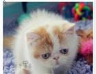猫舍直销多只加菲猫宝宝 身体健康 品相好 价格合理