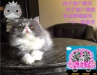 猫苑长期波斯猫 长毛波斯猫 白波斯猫 (包纯种健康)