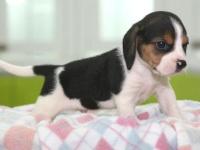 长沙本地犬舍繁殖精品,比格犬,罗威纳,萨摩耶,比熊,等多品种