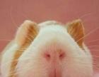 自家繁殖荷兰猪活体宝宝豚鼠天竺鼠家养健康包活短逆短顺纯白纯黑