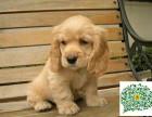 可卡幼犬,可卡多少钱一只