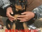 广州哪里有宠物狗出售 广州罗威纳幼犬出售 护航犬