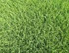 北京市房山区韩村河绿化草坪基地供应优质园林绿化草坪