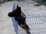 马犬养殖马犬品相