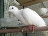 專業魔術鴿白斑鳩出售