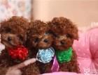 本市可送货 纯种韩系泰迪熊 茶杯.玩具 可爱至极
