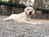 较佳伴侣犬拉布拉多 专业繁殖品质保证实物拍摄可送货