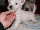 武汉那里有西高地犬卖 武汉西高地犬价格 武汉西高地犬多少钱