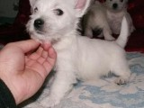 杭州那里有西高地犬卖 杭州西高地犬价格 杭州西高地犬多少钱