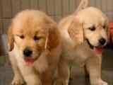 上海哪里有金毛犬卖 泰迪金毛哈士奇秋田博美阿拉多少钱价格