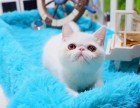 猫舍直销出售纯种招财 加菲猫 全国统一批发价