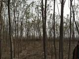 火炬树,6公分火炬树,8公分火炬树
