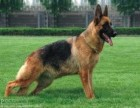 大腮皮大骨架的德国牧羊犬找新家 看家护院好帮手