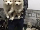 出售两个月左右的微笑天使白萨摩幼犬