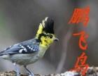 (鹏飞鸟业)新到黄夹山雀鸟 上次没买到的抓紧了