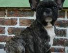 大型犬舍繁殖高品质英国斗牛犬健康有保证欢迎上门