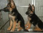 上海哪里有卖德牧上海德牧犬多少钱上海德牧犬好养吗上海德牧照片