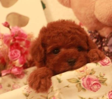 专业的泰迪熊狗场出售纯种茶杯玩具体 泰迪宝宝