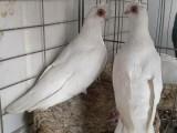 无锡出售各种品相好的元宝鸽 圆环鸽 摩登鸽