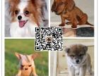 犬舍直销柴犬 双血统带证书 纯种健康 欢迎选购