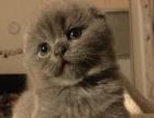单CFA血统 苏格兰折耳猫 苏折蓝猫 完美根折耳朵