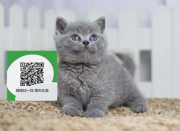 楚雄哪里卖蓝猫便宜 楚雄哪里卖蓝猫 楚雄哪里买蓝猫