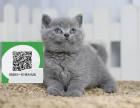 南阳哪里开猫舍卖蓝猫 去哪里可以买得到纯种蓝猫