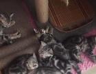 家庭自养,美国虎斑猫咪,感兴趣的朋友点击进来!