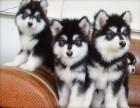 咸阳那里有阿拉斯加犬卖 咸阳阿拉斯加犬价格 阿拉斯加犬多少钱