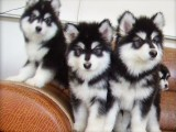 济南哪有阿拉斯加犬卖 济南阿拉斯加犬价格 阿拉斯加犬多少钱