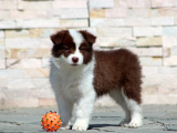 家养一窝纯种边境牧羊犬可以签协议 来家里看狗父母