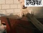 哪里出售杜高犬 纯种杜高多少钱