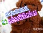 精品韩国小体 聪明可爱的泰迪犬,质量健康有保障