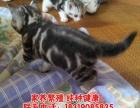出售自家养的美短虎斑猫咪可爱宠物猫有公有母可上门