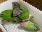 專業繁殖塞內加爾鸚鵡 葵花鸚鵡 灰鸚鵡 金剛鸚鵡 亞馬遜鸚鵡
