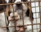 苏氏犬业唯一赛级米格鲁比格繁殖基地 可爱健康血统纯正